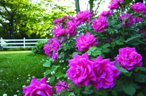 knock-out-roses-new-hampshire