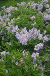 lilac-new-hampshire