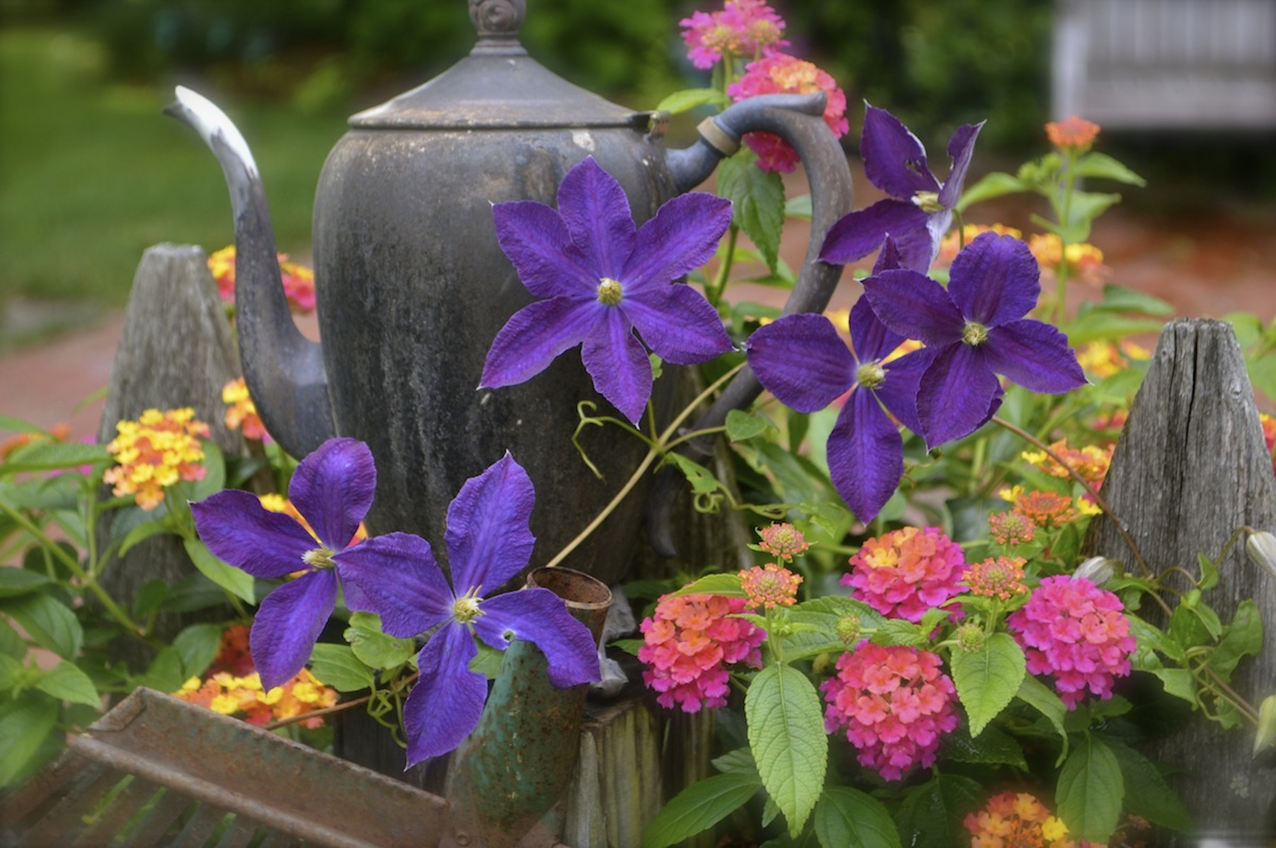 Purple Clematis vine growing up Picket Fence