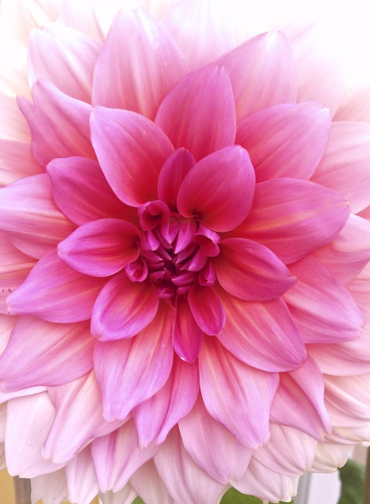 Beautiful Dineer Plate Dahlia