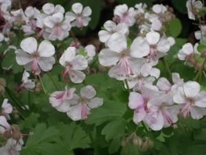 Geranium Biokovo flower