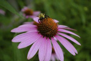 echinacea:bee