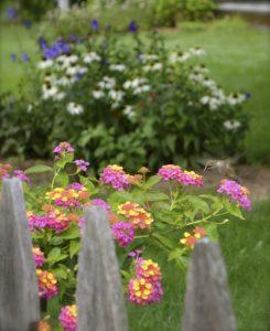 lantana:hummingbird