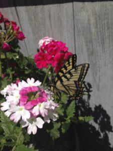 verbena:monarch