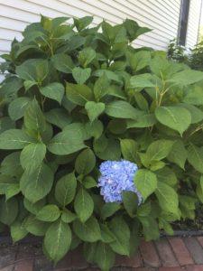 healthy plant, no blooms