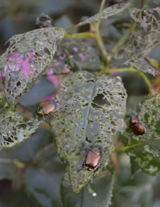 japanese beetle damage on roses