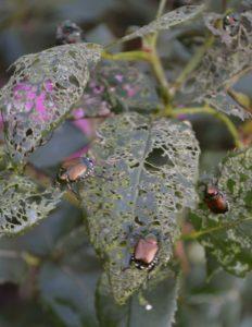 japanese beetle damage on roses