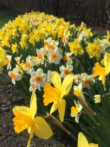 spring flowering bulbs, daffodils