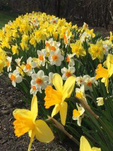 spring flowering bulbs, daffodils